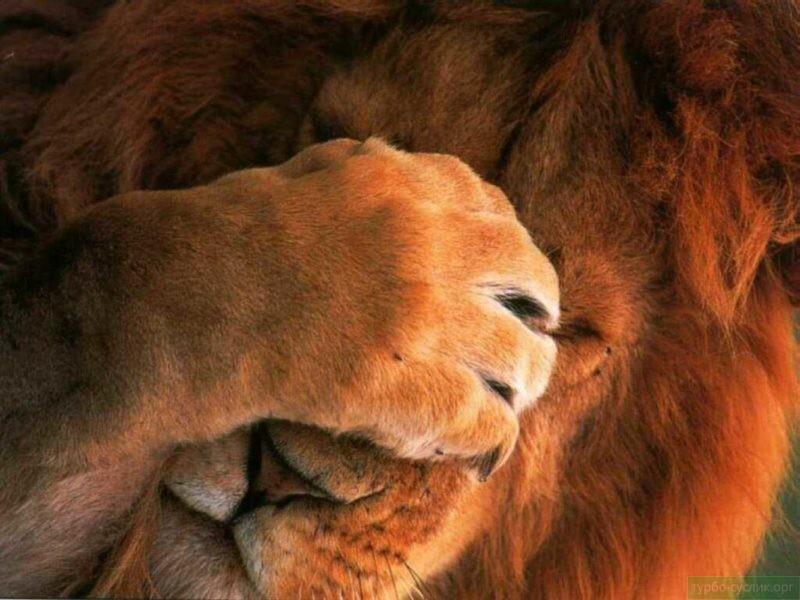 лев стесняется